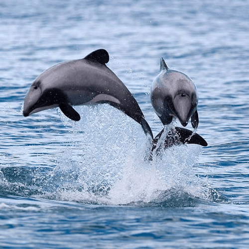 Maui Dolphin West Coast of New Zealand